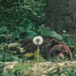 Brown bear sleeping at Libearty Bear Sanctuary in Romania.