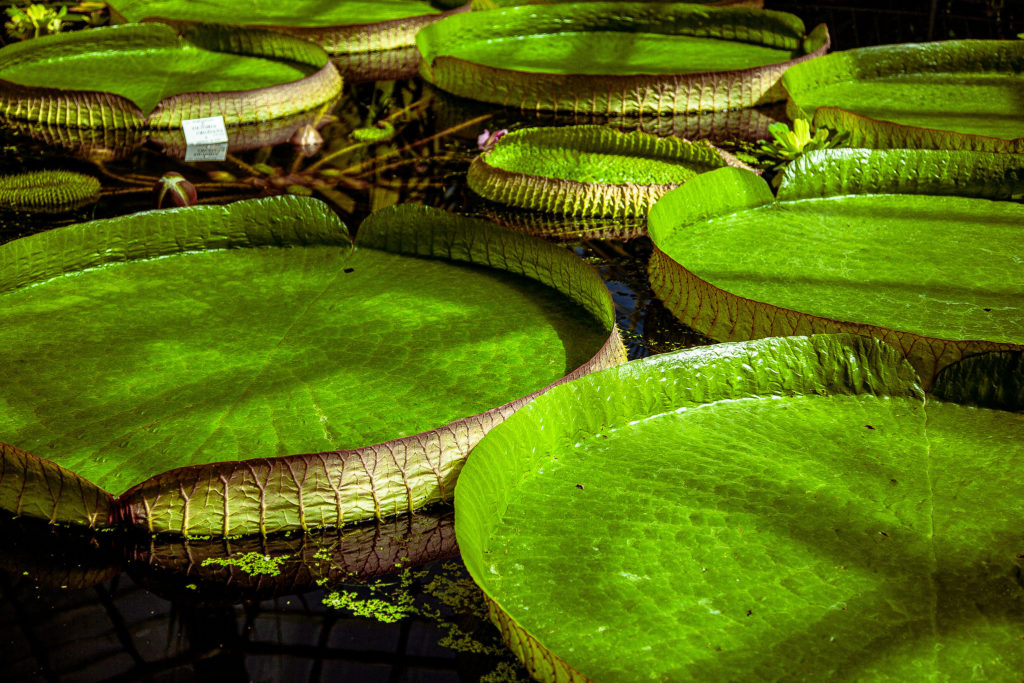 Large lily pads at the Cluj Botanical Garden