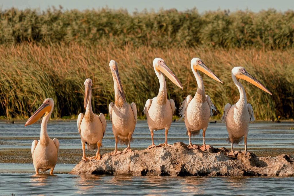 Pelicans lined up on a rock in the Danube Delta.