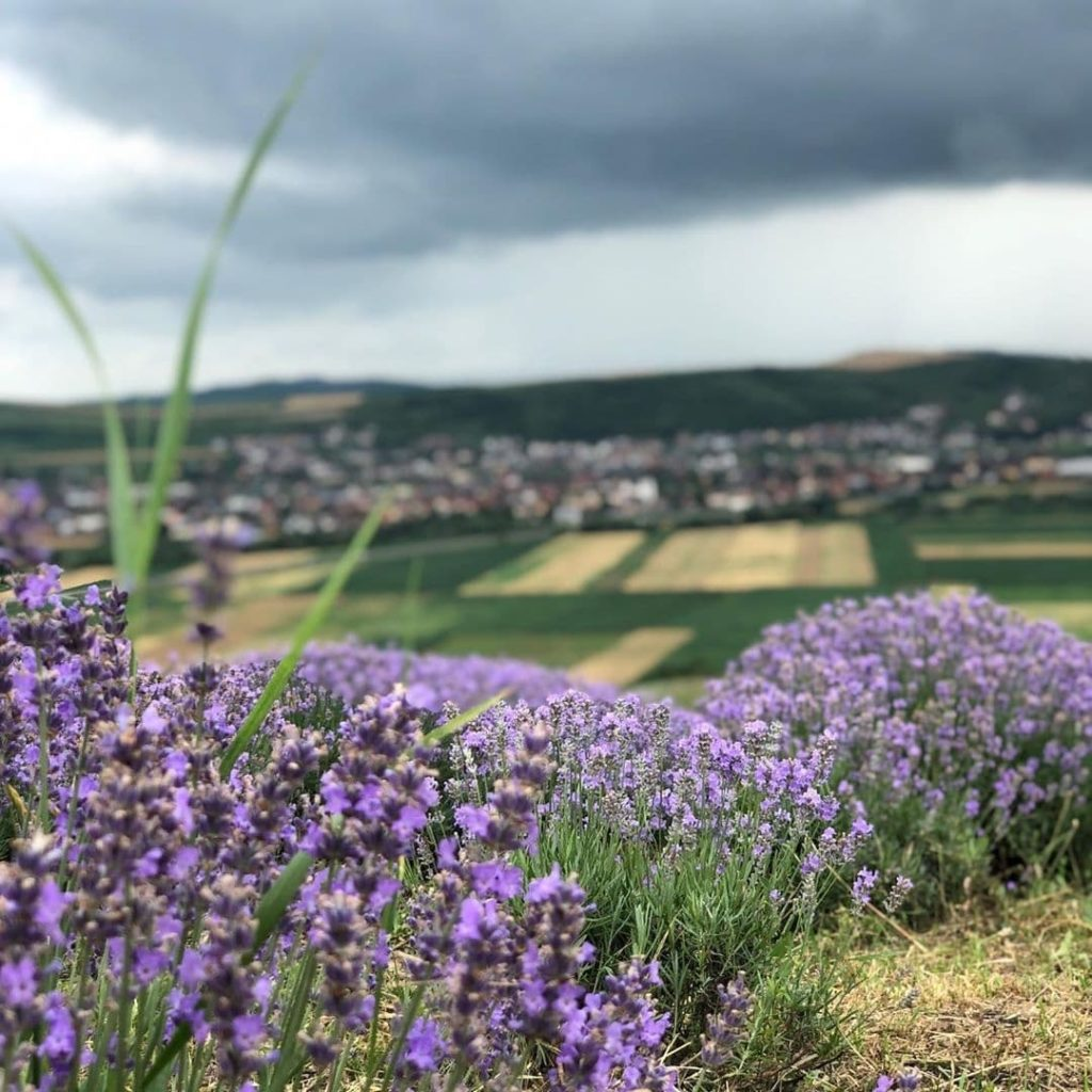 Lavender plants in the foreground with a city in the background - Cluj Napoca, Romania.