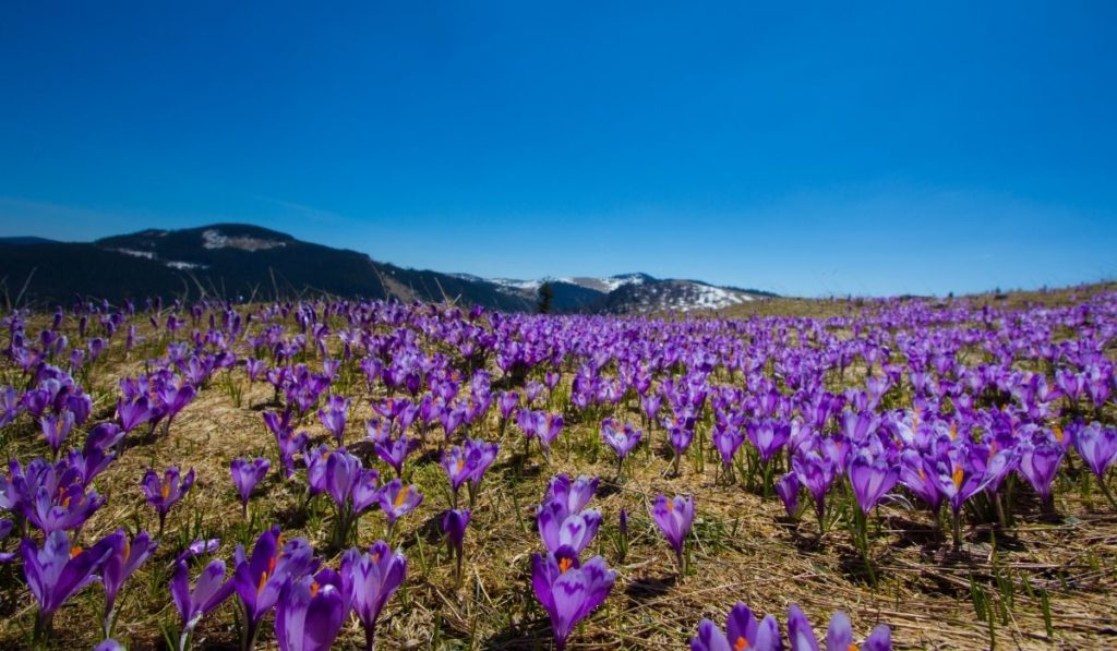 Transylvania landscape with purple wildflowers covering the ground, mountains in the background.